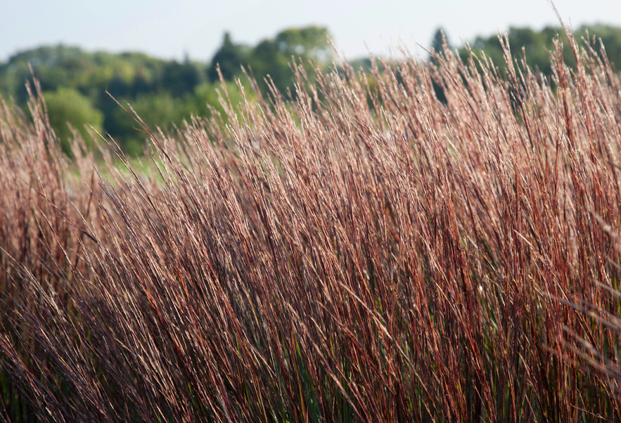 Blue HeavenTM little bluestem in the fall. Photo by Dave Hansen.