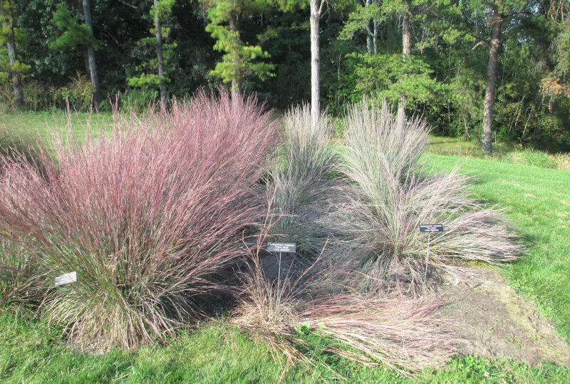 Little bluestem nativars exhibiting lodging. From left to right Blute HeaveTM, 'Prairie Blues', and 'The Blues'.