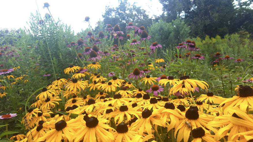 Native pollinator garden on the University of Minnesota campus.