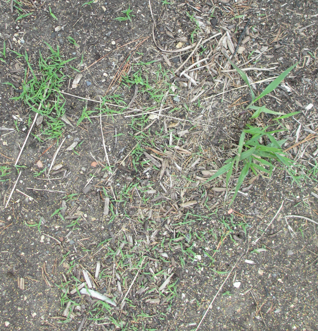 Seedlings coming up on their own without the aid of cultivation in MN Landscape Arboretum grass collection.