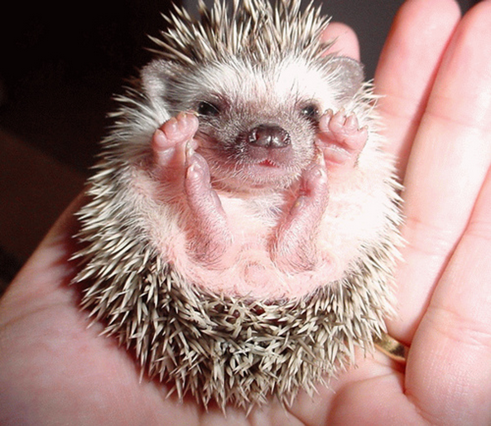 A small hedgehog curled up in someone's hand