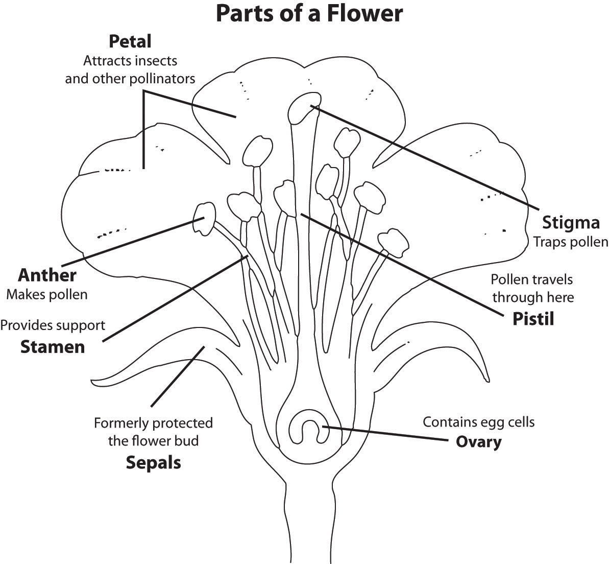The Parts of a Flower: Petal (attracts insects and other pollinators), Stigma (traps pollen), Pistil (pollen travels through here), Ovary (contains egg cells), Sepals (formerly protected the flower bud), Stamen (provides support), anther (makes pollen)